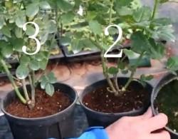 盆栽月季十死九涝,你的浇水方法正确吗?