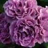 紫色系藤本月季都有哪些?