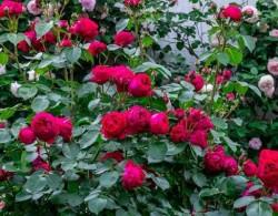 红色龙沙宝石--完美的藤本月季品种