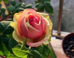 火龙果月季——超级美丽的新品种