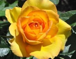 大花月季盆栽苗1.2-1.8元一棵,大量供应