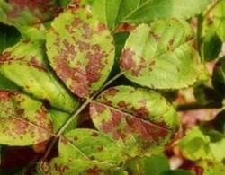 月季的常见病害以及防治方法