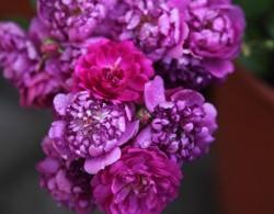 爆香紫Sweet Chariot