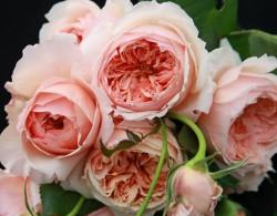 藤本月季网花友最爱的八种月季花