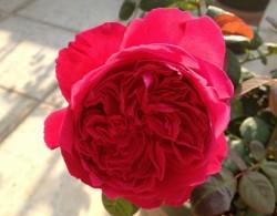 皇家胭脂——花大、花香、抗病、耐热