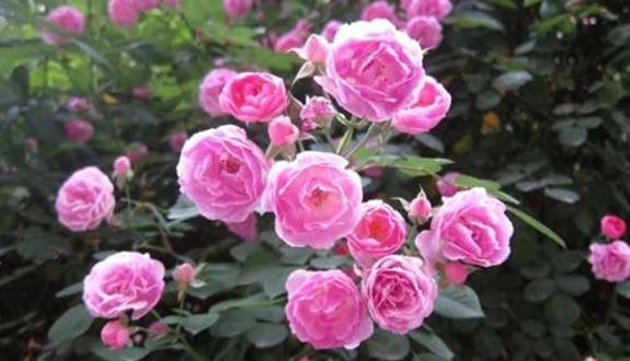 春天月季病虫害预防,开花前就喷药,事半功倍