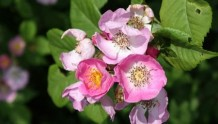 粉团蔷薇(cathayensis)