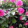 爬藤月季和蔷薇哪个漂亮?