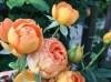 蜂蜜焦糖月季种植技巧