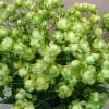 罕见的绿色月季品种--埃克莱尔