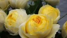 月季中的奶黄包子--金丝雀
