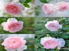最具少女感的粉月季美咲!
