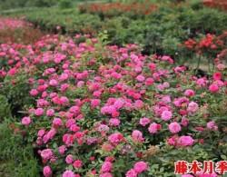 月季长着长着变蔷薇,难道我被无良商家给骗了