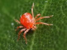 月季遇到秋冬红蜘蛛反扑怎么办?