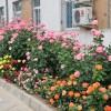藤本月季种植间距是多少,几米一棵合适?