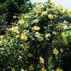 西北地区能种植藤本月季吗?