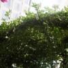 藤本月季欧月花有多大,能爬多长?