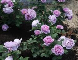 24款经典蓝紫色月季品种推荐