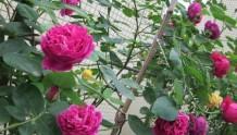 阳台种植藤本月季需要注意些什么?