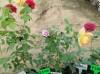 藤本月季小苗怎么种植养护?