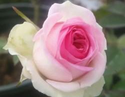 小伊甸园月季花的养护与管理