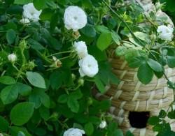 如何在不喷药的花园种月季