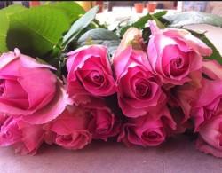 糖果雪山玫瑰的花语是什么