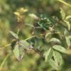 夏季月季黑斑病高发期,花友要注意防治!
