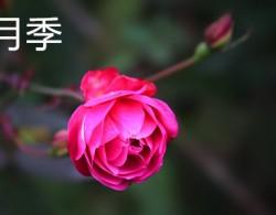 月季和玫瑰有什么区别?认准这二点准没错!
