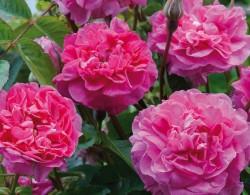 英格兰玫瑰(England's Rose)