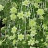绿玉铁线莲