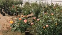 棒棒糖树月季和树桩月季有什么区别?