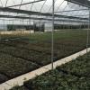 沭阳地区的最新月季小苗价格