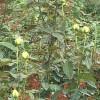 灌木月季与藤本月季的区别