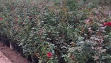 盆栽藤本月季批发价格