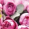 粉色伊芙伯爵