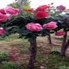 10公分的树状月季价格多少钱一棵