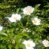 蔷薇和藤本月季花哪个好养
