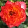 浪漫玫瑰面纱