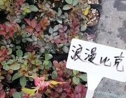 盆栽月季花苗批发零售价格