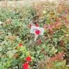 橙色钻石玫瑰