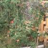 2米的藤本月季苗价格