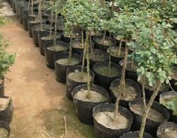 树状月季移栽后怎么管理