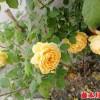 黄金庆典月季勤花吗