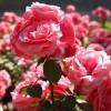 我是园艺师 | 李文凯:能让花同一天开放的月季栽培大师