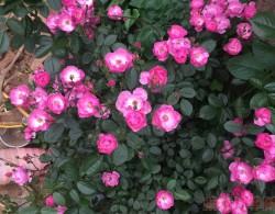 丰花月季怎么养,有哪些种植技巧