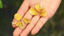 晒伤、药伤、肥伤……引起的灼烧型黄叶
