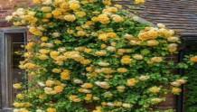 黄金庆典月季能长多高?