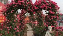 适合做婚礼拱门的藤本月季品种推荐