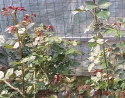 月季新叶为什么有的是红的,有的是绿的?